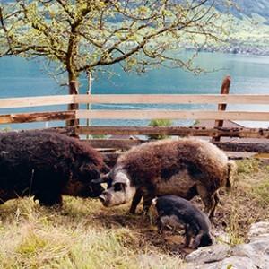 kochbuch-zu-tisch-pearson-schweine-valentinas